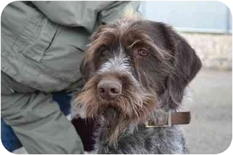 German Wirehaired Pointer Dog for adoption in Meridian, Idaho - Dexter