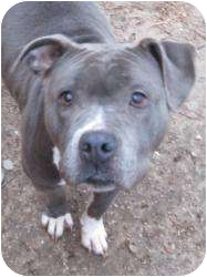 American Pit Bull Terrier Mix Dog for adoption in Bloomfield, Connecticut - Hail Mary