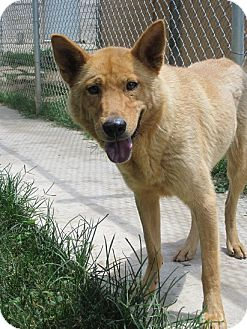 Finnish Spitz/Shepherd (Unknown Type) Mix Dog for adoption in San Antonio, Texas - Nora
