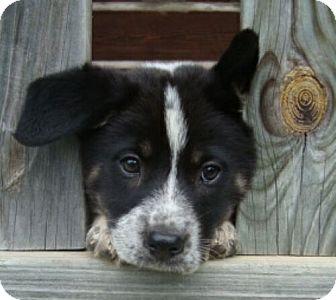 Border Collie Mix Puppy for adoption in Westerly, Rhode Island - Bessie