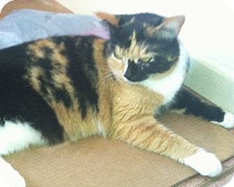 Calico Cat for adoption in Rochester, New York - Emily