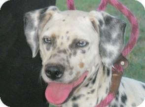 Dalmatian Dog for adoption in Turlock, California - Bella
