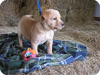 Labrador Retriever Mix Puppy for adoption in Hartford, Connecticut - Jasper