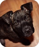 American Staffordshire Terrier/Boxer Mix Puppy for adoption in justin, Texas - Ruby