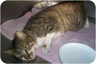 Domestic Shorthair Cat for adoption in Honesdale, Pennsylvania - Trouble