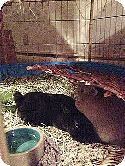 Dwarf Mix for adoption in Rockville, Maryland - Naomi + Teddy