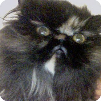 Persian Cat for adoption in Chicago, Illinois - Miss Stephanie
