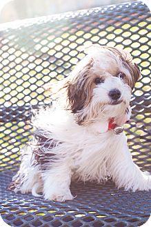 Yorkie, Yorkshire Terrier/Shih Tzu Mix Puppy for adoption in Auburn, California - Romeo