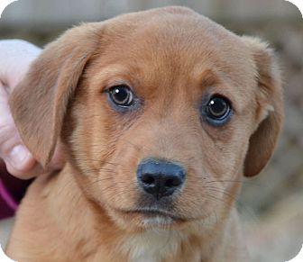 Labrador Retriever Mix Puppy for adoption in Plainfield, Connecticut - Donny
