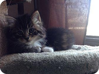 Domestic Mediumhair Kitten for adoption in Lakeland, Florida - Snickers