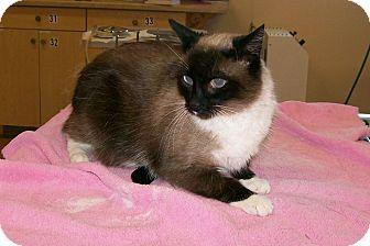 Snowshoe Cat for adoption in Dayton, Nevada - Amie