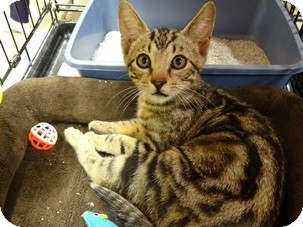 Domestic Shorthair Kitten for adoption in Diamond Bar, California - JAKE