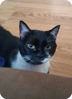 Domestic Shorthair Cat for adoption in Cary, North Carolina - Molly
