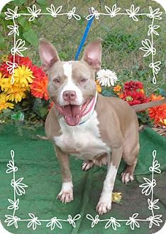 Pit Bull Terrier Mix Dog for adoption in Marietta, Georgia - NORA - see video