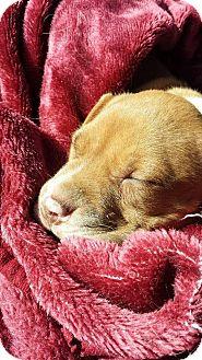 Pit Bull Terrier/Labrador Retriever Mix Puppy for adoption in Kansas City, Missouri - Christoph
