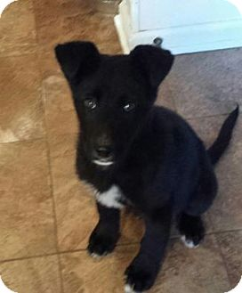 Labrador Retriever/German Shepherd Dog Mix Puppy for adoption in Union City, Tennessee - Jett