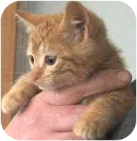 Domestic Shorthair Kitten for adoption in Republic, Washington - Kinko