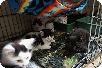 Domestic Mediumhair Kitten for adoption in Henderson, North Carolina - Elite Eight (5 kittens now)