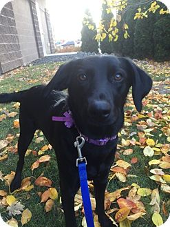 Labrador Retriever Mix Puppy for adoption in Meridian, Idaho - PAISLEY