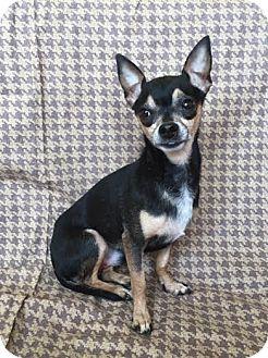 Chihuahua Mix Dog for adoption in Philadelphia, Pennsylvania - Thunder