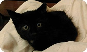 Domestic Shorthair Kitten for adoption in Gainesville, Florida - Honey Bun