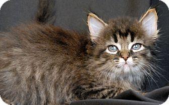 Domestic Mediumhair Kitten for adoption in Newland, North Carolina - Goldenrod