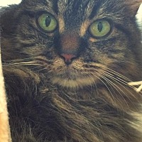 Domestic Longhair Cat for adoption in Huguenot, New York - Socks