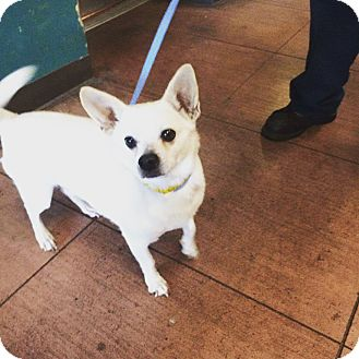 Chihuahua/Terrier (Unknown Type, Small) Mix Dog for adoption in beverly hills, California - Hunter