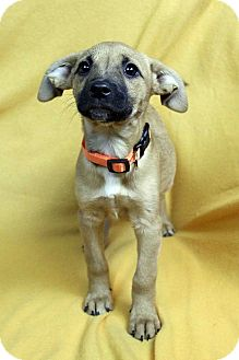 Shepherd (Unknown Type) Mix Puppy for adoption in Westminster, Colorado - NUTMEG