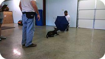 Dutch Shepherd Puppy for adoption in Wattertown, Massachusetts - Dylan - Blue Collar
