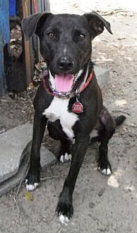 Labrador Retriever Mix Dog for adoption in Hagerstown, Maryland - Blackie