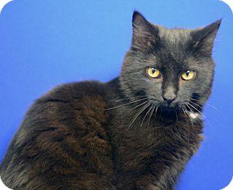 Domestic Mediumhair Kitten for adoption in LAFAYETTE, Louisiana - DARWIN
