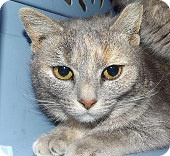 Domestic Shorthair Cat for adoption in Orleans, Vermont - Whitney Houston