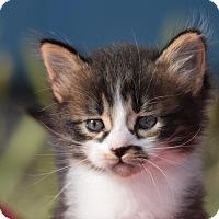 Adopt A Pet :: Cygnus - Rosamond, CA