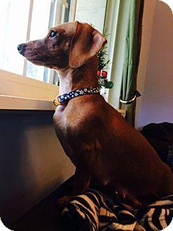 Dachshund Mix Dog for adoption in Spring Valley, New York - Zoe