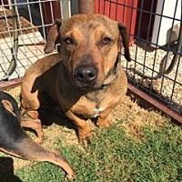 Adopt A Pet :: Shorty - Lubbock, TX