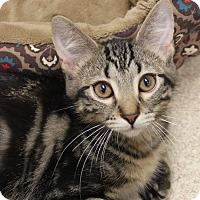 Domestic Shorthair Kitten for adoption in Naperville, Illinois - Mr. Beasley
