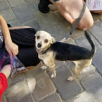 Chihuahua Mix Dog for adoption in Chico, California - Merced