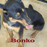 Adopt A Pet :: Bonko - Coleman, TX