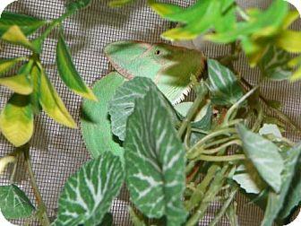Lizard for adoption in Burlingame, California - Chamuel Jackson