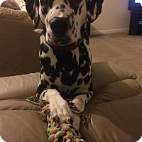 Dalmatian Dog for adoption in Lexington, Kentucky - Miller