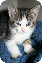 Domestic Shorthair Kitten for adoption in tucson, Arizona - Kerby