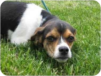 Pug/Beagle Mix Puppy for adoption in Florence, Indiana - Patches