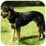 Photo 2 - Doberman Pinscher/Labrador Retriever Mix Dog for adoption in Mocksville, North Carolina - Juneau