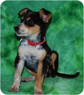 Chihuahua/Cattle Dog Mix Puppy for adoption in Broomfield, Colorado - Smooch