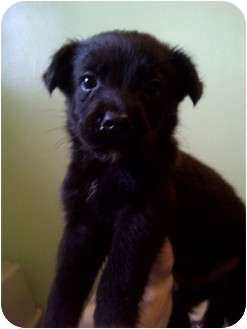 Border Collie/Labrador Retriever Mix Puppy for adoption in Baltimore, Maryland - Blitzen (adoption pending)