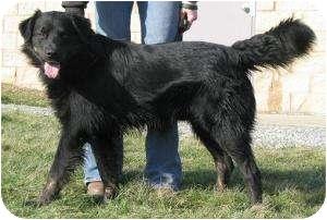 Flat-Coated Retriever/Australian Shepherd Mix Dog for adoption in New Brighton, Minnesota - Omi