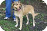 German Shepherd Dog/Collie Mix Dog for adoption in Summerville, South Carolina - Georgia