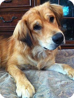 Golden Retriever Mix Dog for adoption in Harrisonburg, Virginia - ADOPT ME!-Caden