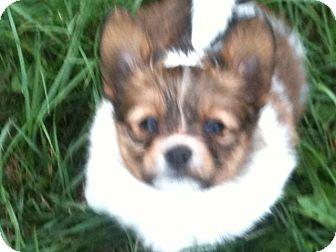 Papillon Puppy for adoption in Hilliard, Ohio - Rainey